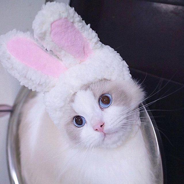 Rabbit Ear for Cat
